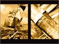 photo de coupeur de canne et canne a sucre