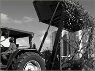 photo de la recolte de la canne distillerie hse