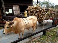 photo de transport de canne à sucre en cabrouet