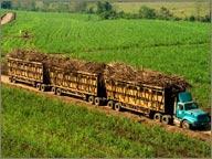 champs de canne au guatemala