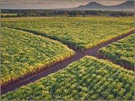 photo de chmap de canne au nicaragua